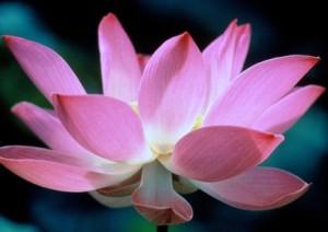 0149_lotusblomma[1]